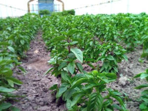 Thai basil farm in Missoula